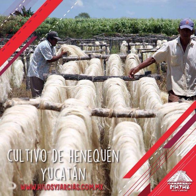 Sabas sobre el cultivo del henequn? 45 municipios se dedicanhellip